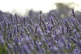 Hvar lavender
